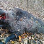Wild Boar Trophy - Transylvania, Romania